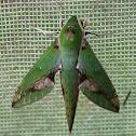 Chiron Sphinx Moth