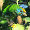 Yellow fronted Barbet
