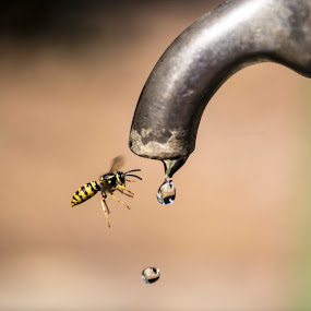 going to drink water... by Hale Yeşiloğlu - Animals Insects & Spiders ( macro, nature, waterdrop, bee, drop, drops,  )