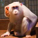 Albino Macaque