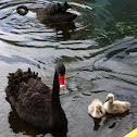 Black Swan and Signets