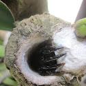 Ummidia Trapdoor Spider