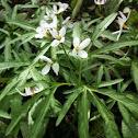 Cut-leaved Toothwort