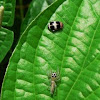 Telamonia spider
