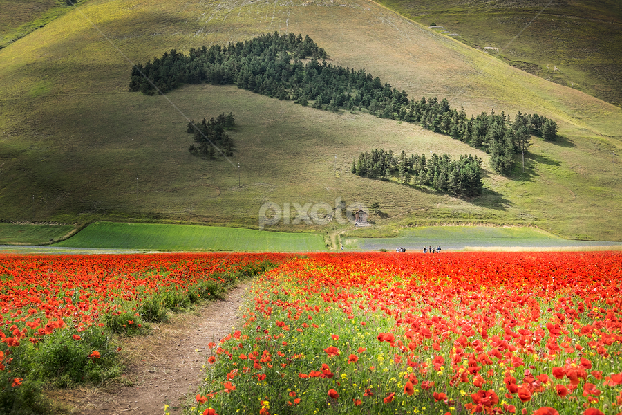 The perfect Italy by Alberto Ghizzi Panizza - Landscapes Mountains & Hills ( hill, red, flowering, wood, path, poppy, pine, italy, blossom, flower )