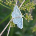 Wavy-lined Emerald moth