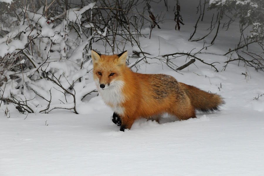 Red fox in the snow by Desiree DeLeeuw - Animals Other Mammals ( winter, fox, snow, wildlife, foxes, new jersey,  )