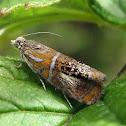 Tortrix Moth (leafroller)