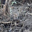 Miš šumski žutogrli (in croatian)