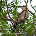 Cuclillo canela (Dark billed cuckoo) Coccyzus melacoryphus