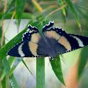 North Queensland Day Moth