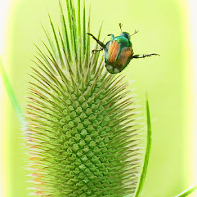 Beetle on Teasel by Mike Moats - Animals Insects & Spiders