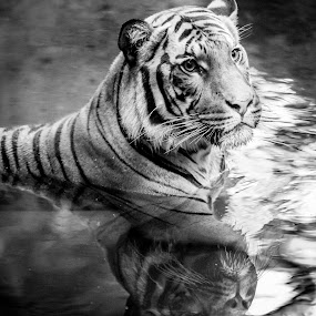 Tiger by Robby Ticknor - Animals Lions, Tigers & Big Cats ( water, reflection, waer, tiger )