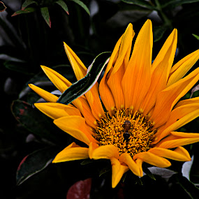 The Bee by Subhasis Ghosh - Flowers Single Flower ( nature, bee, nature close up, garden, flower,  )