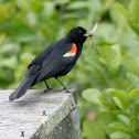 Red Wing-Blackbird