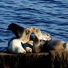 Harbor seal pups