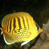 Spot-banded Butterfly Fish