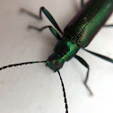 metallic green/purple beetle
