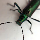 metallic green/purple beetle