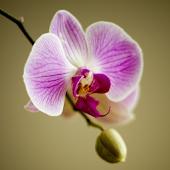 Orchids Live Wallpaper