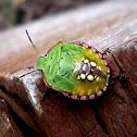 Chinche verde hedionda (larva)