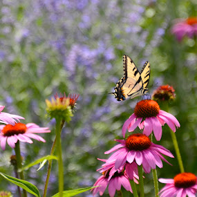 Coneflowers attract butterflies by Norine DeSilva - Uncategorized All Uncategorized