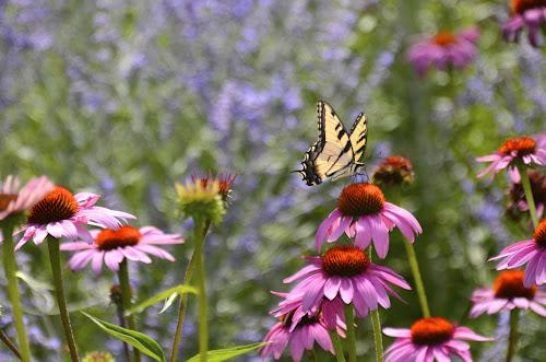 Coneflowers attract butterflies by Norine DeSilva - Uncategorized All Uncategorized