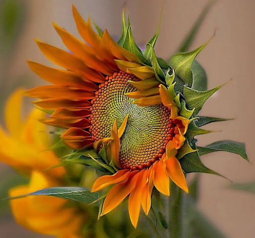beautiful sunflower by John Kolenberg - Nature Up Close Gardens & Produce ( girasol, sunflower, backyard flowers, seeds, garden, , color, colors, landscape, portrait, object, filter forge, Hope )