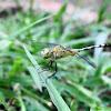 Ground Skimmer (female)