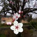 Fleur de prunus (fr)