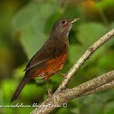Zorzal colorado ( Rufous-bellied Thrush)