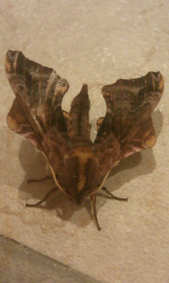 Small-Eyed Sphinx Moth