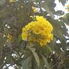 Guayacán amarillo, Chicalá
