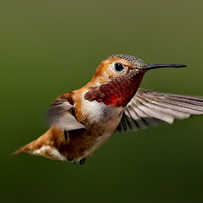 Hummingbird 4 by Sheldon Bilsker - Animals Birds ( bird, flight, nature, hummingbird, animal,  )