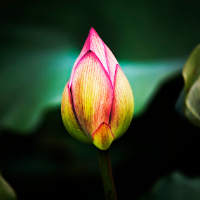 Flower Bud by Dale Frazier - Flowers Flower Buds ( water, peaceful, green, lilly pad bloom, bloom, yellow, youth, pink lilly pad bloom, japan, okinawa japan, bud, natural, flower, lilly, pink flower bud, , colorful, mood factory, vibrant, happiness, January, moods, emotions, inspiration )