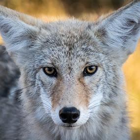 Staredown by E.g. Orren - Animals Other Mammals ( coyote, alberta, elk island, wildlife, photo by ego, mammal,  )