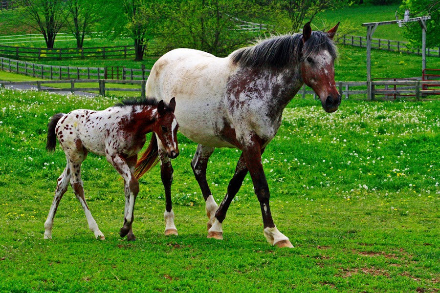 Horses 2 by William Case - Animals Horses ( field, horses, green, horse, white, meadow, summer, staunton, virginia, brown )