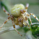 Cucumber green spider, Krzyżak zielony