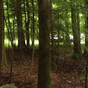 Eastern Hemlock