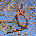Northern Catalpa tree and pods