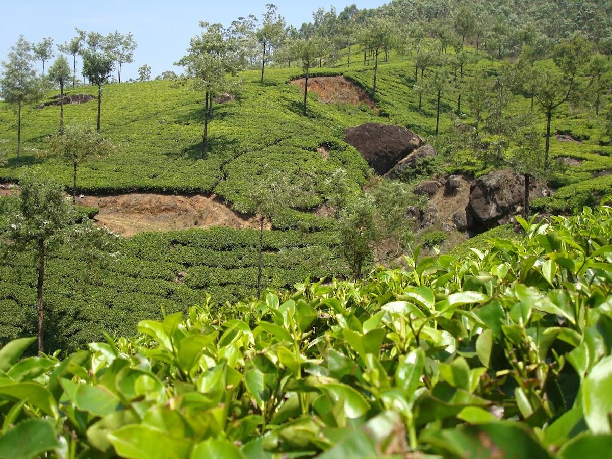 Tea tree / Čajevac