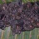 murciélago orejiamarillo - murciélago de campamento - Tent making bat