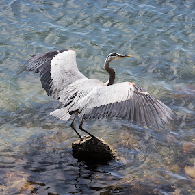 In flight by Zetsu Nawa - Animals Birds ( water, bird, ripples, heron, rocks )