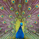 peacock/peafowl
