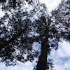 Pine, Pino