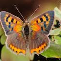 Common Copper, Manto bicolor.
