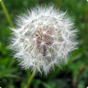 Galaxy S3 Mini Dandelion LWP icon