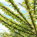 Manzanote