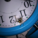 Banded Metallic-green Jumping Spider