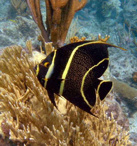 A French Angel Fish in the reefs surrounding Virgin Islands National Park in the US Virgin Islands. The park covers about 60% of the island of Saint John.